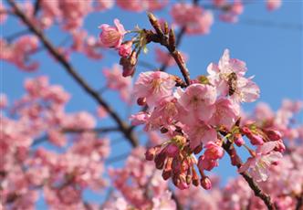 河津桜④(縮小332×231)